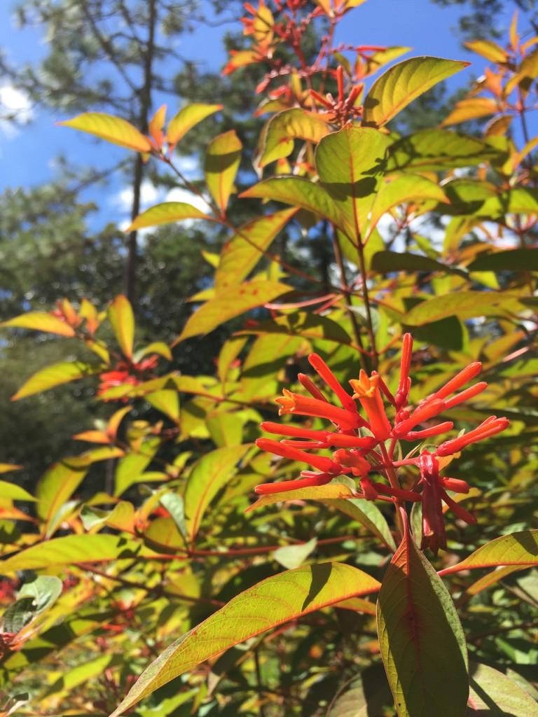 Five Essential Perennials For Florida Gardens Native Nurseries