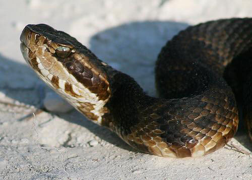 NON-Venomous Banded Water Snake - notice the eyes and rounded head. The venomous Water Moccasin / Cottonmout has a sharply angular, triangle shaped head and eyes with slit pupils - like a cat's eye.