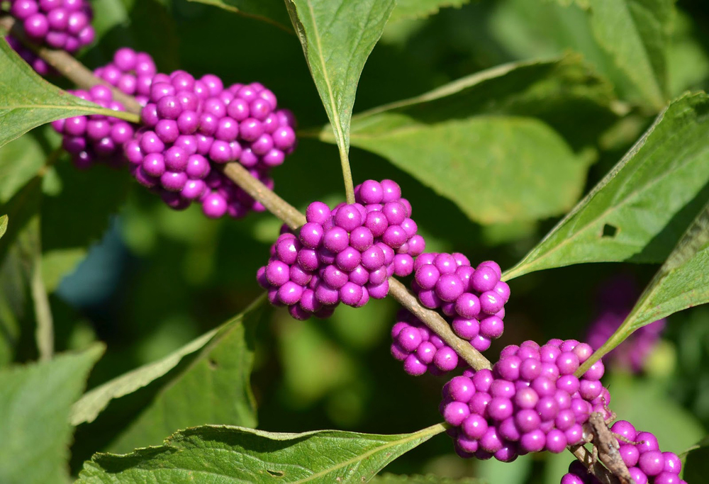 Clusters of attractive beautyberries. Great food for wildlife.