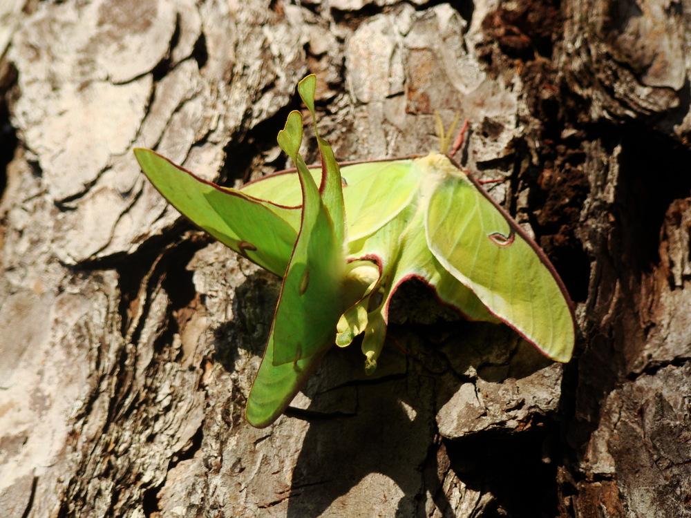 Luna Moths mating.