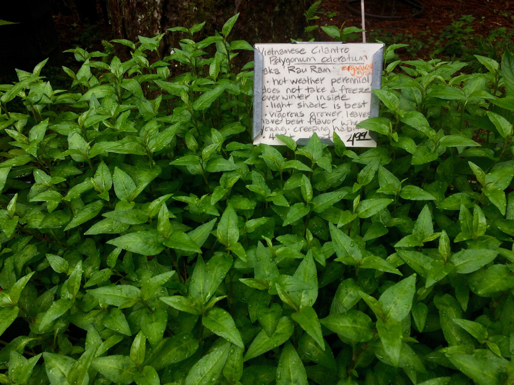 vietnamese cilantro also known as vietnamese coriander cambodian mint or rau ram makes an unusual addition to your herb garden its native to southeast - Vietnamese Garden