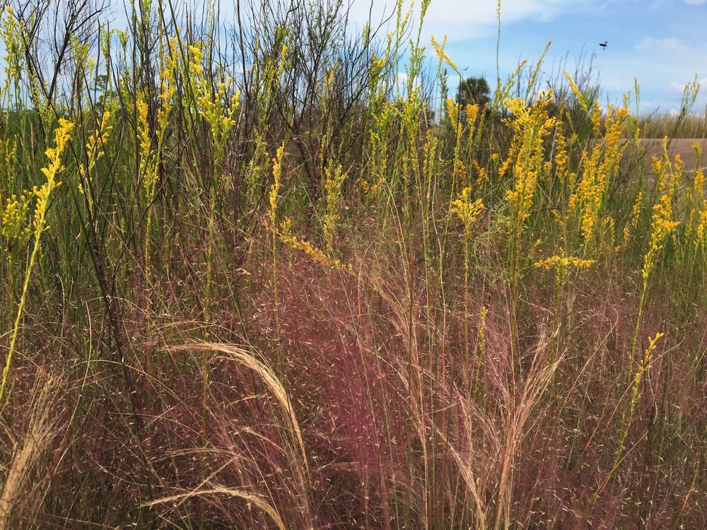 Purple Lovegrass and Goldenrod