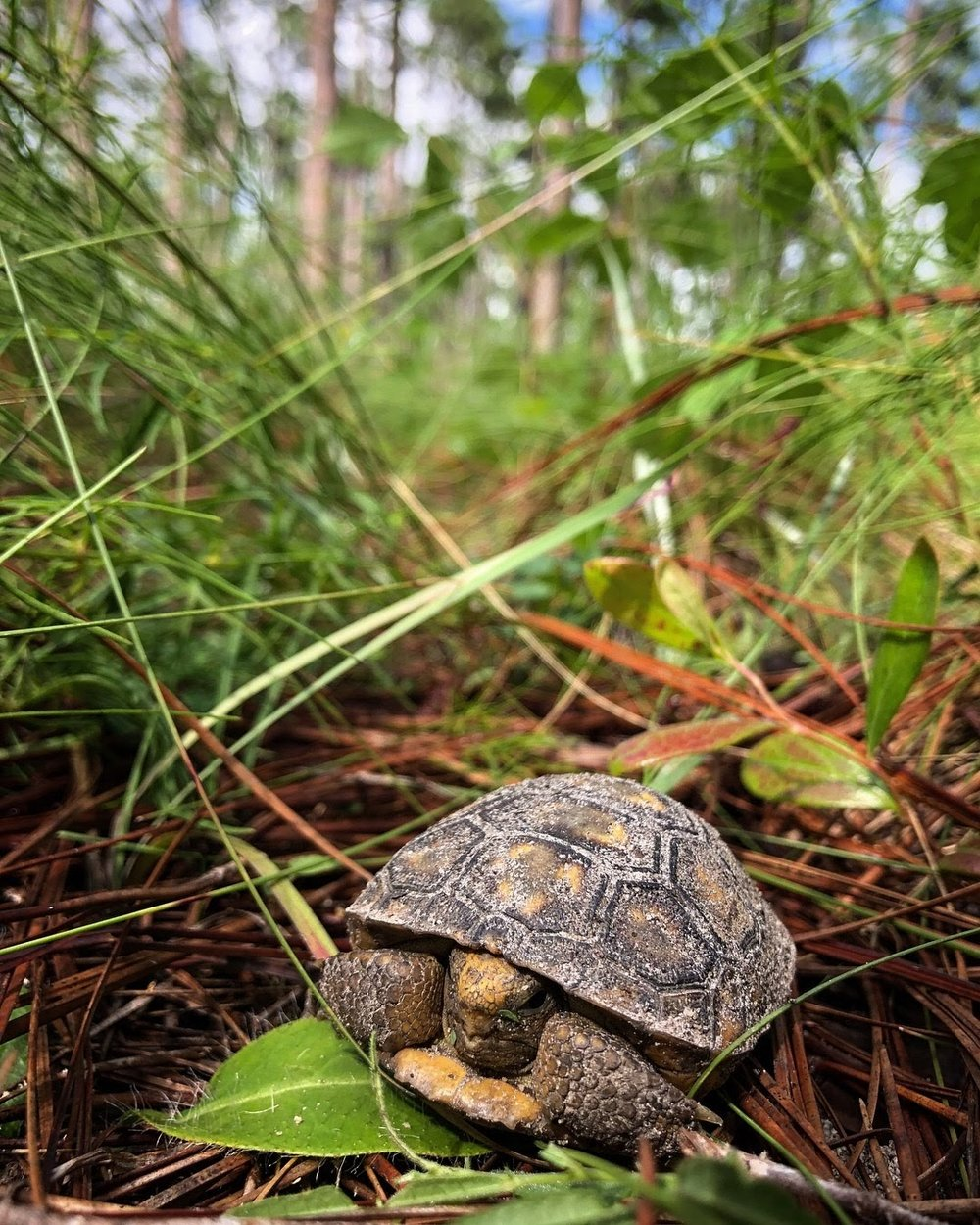 The Gopher tortoise is a currently threatened keystone species that relies on healthy pine forests for habitat. Photo by Lilly Anderson-Messec (Photo: Lilly Anderson-Messec)