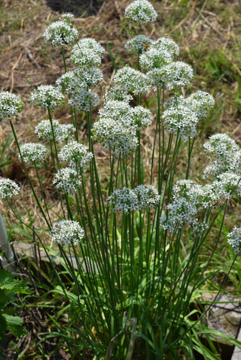 garlic-chives-bloom.jpg