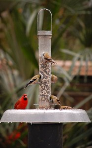 Northern cardinal and American goldfinch dining at Native Nurseries' squirrel and raccoon proof feeder.   (Photo: Jody Walthall)