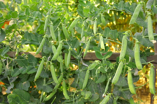 peas-on-vines