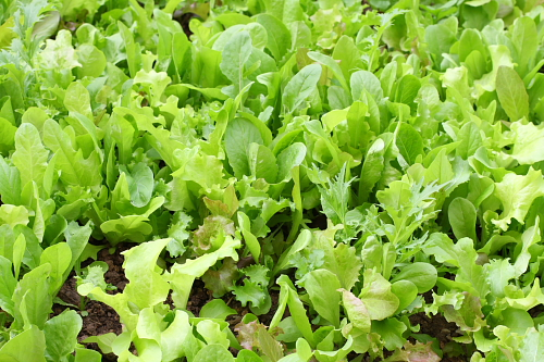 lettuce-bed1