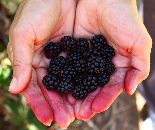blackberries-picked-with-my-hands