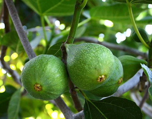 figs-on-tree