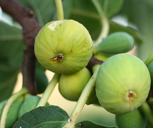 ripe-kadota-fig
