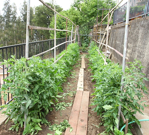rows-of-tomatoes
