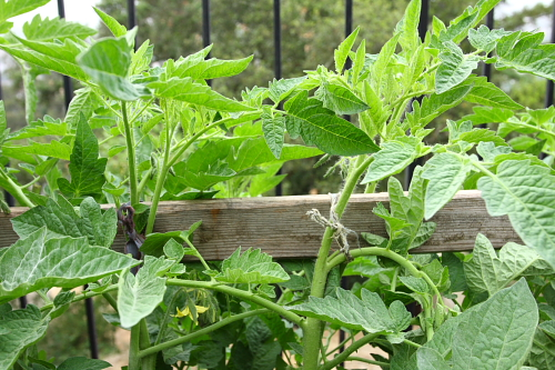tomatoes-tied-to-trellis