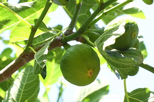 unripe-fig