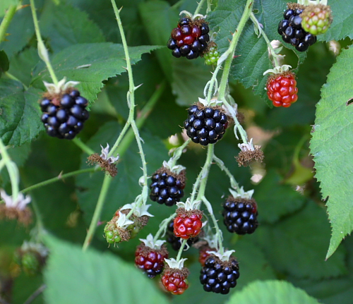 wild-blackberries-on-a-bush