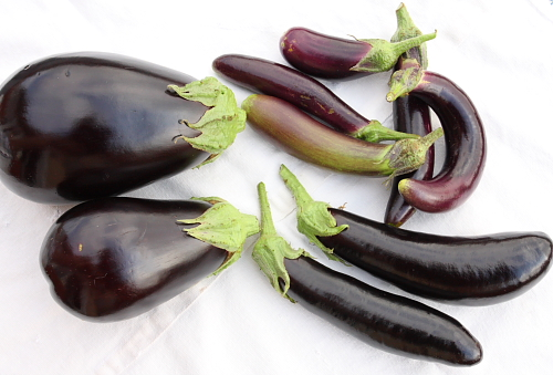 eggplant-varieties-globe-italian-and-filipino