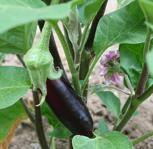 eggplants-july