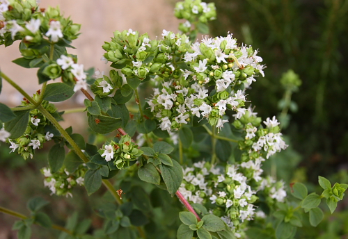 oregano-flowers