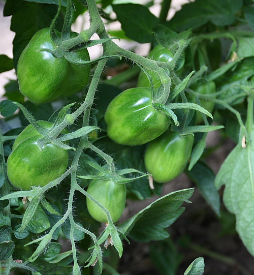 san-marzano-tomatoes-july1