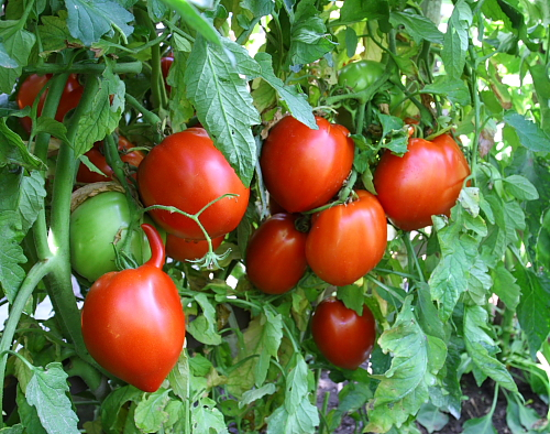 horned-tomato-on-vine