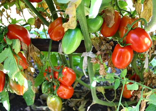 san-marzano-tomatoes-1st-row