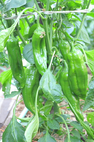 sweet-italian-peppers-august
