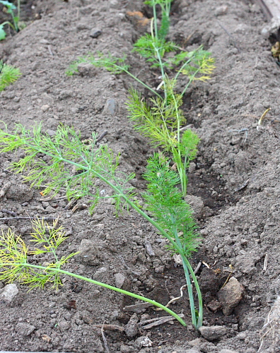 Baby fennel plants