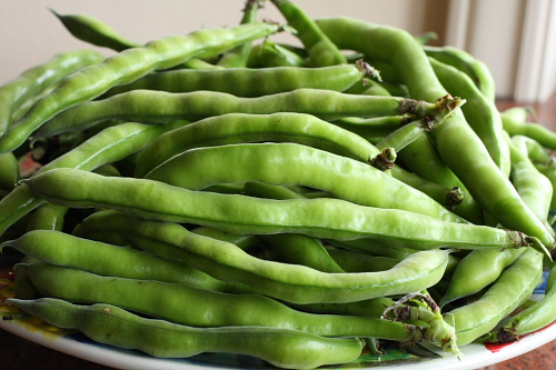 Fresh fava beans from my garden