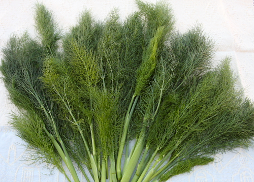 Wild fennel fronds