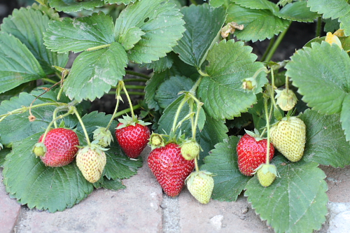 Strawberries-July-2010.jpg