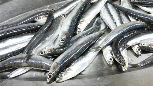 Fresh-anchovies-2698
