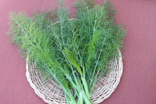 Wild fennel fronds-IMG_3533