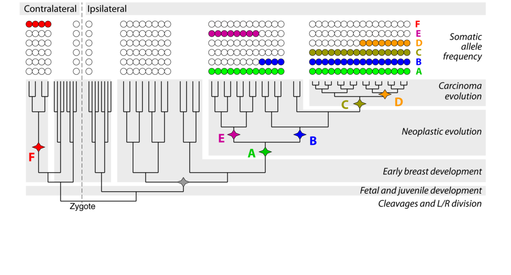 Genome evolution during progression to breast cancer. Newburger et al, Genome Research 2013