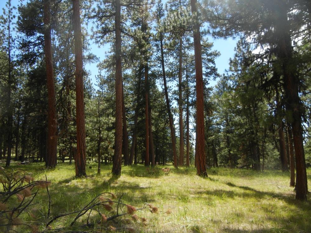 Old Growth Ponderosa Pine