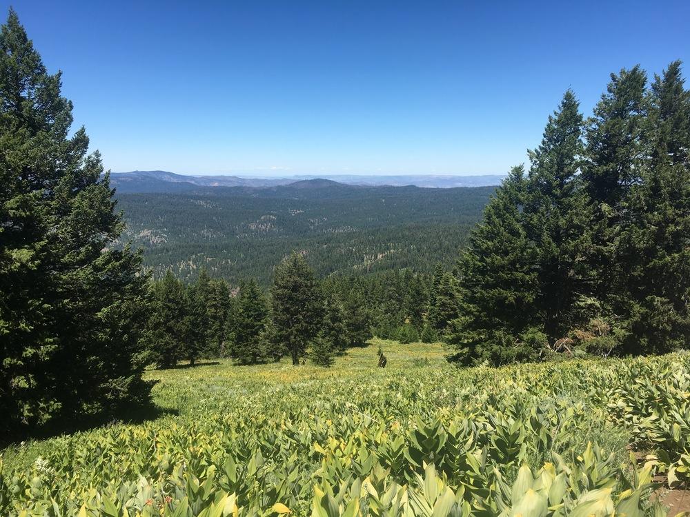 Alpine Corn Lily Meadow