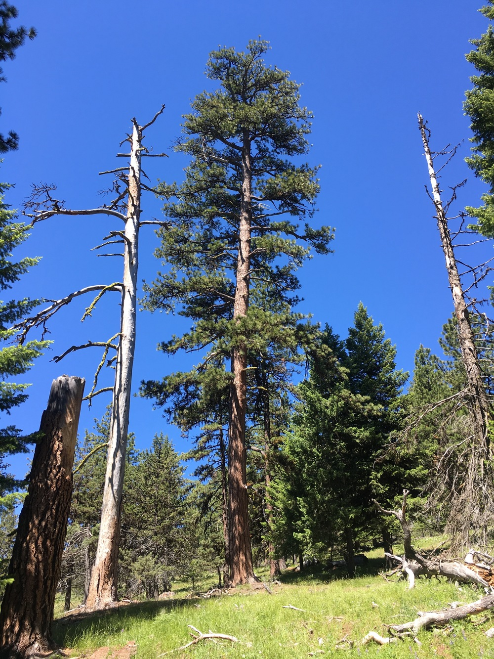 Old Growth Ponderosa Pine Tree