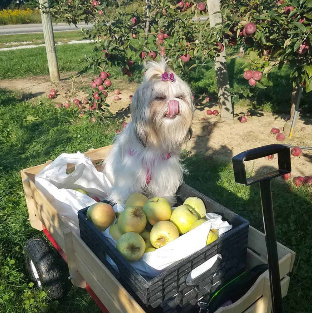 Photo by @iggyshihtzalea at Bauman Orchards in Rittman, Ohio
