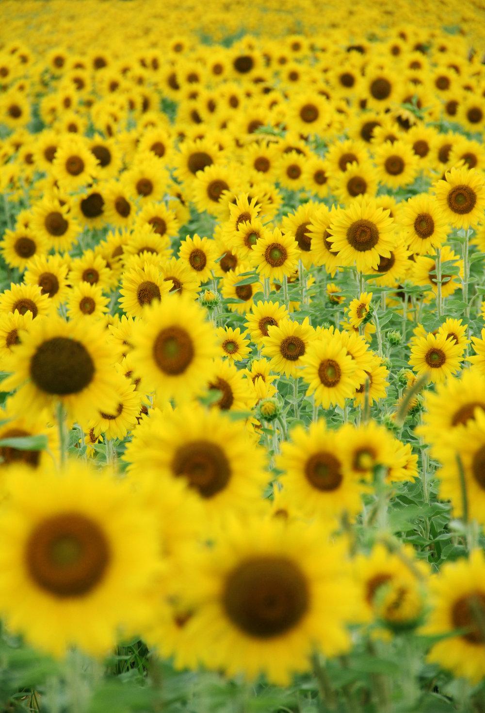 ohio sunflowers at cottell park ohio explored