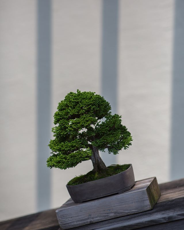 Mr. Bonsai