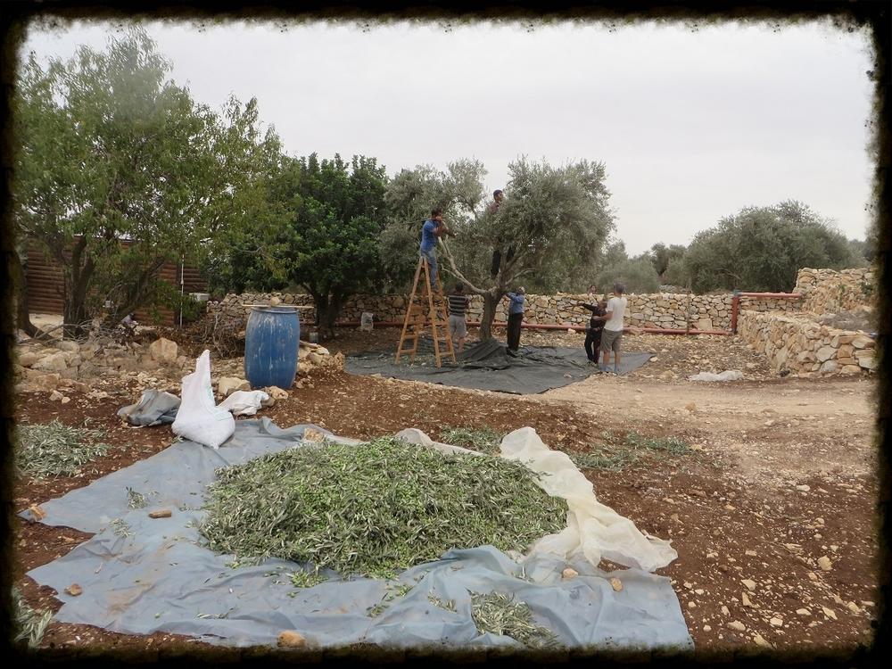 Olives Piling Up