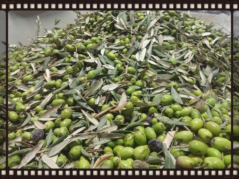 OUR OLIVE HARVEST