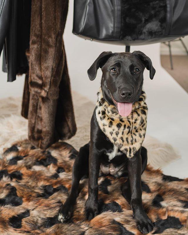 Little model pupperoni, Birdie loves all of her Donna Salyers Faux Furs 🐶 . #cincinnatiphotographer #fauxfur #veganfashion #fauxfur #dogstagram #dogsofinstagram #dogmodel