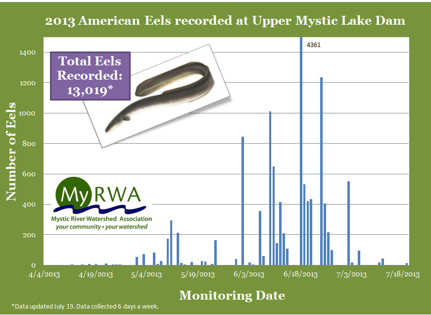 Lots Of Eels This Year Mystic River Watershed Association