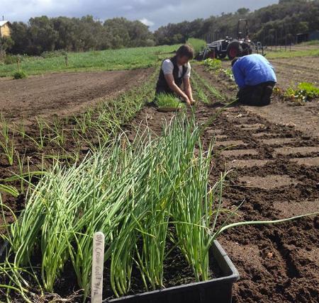 Planting Field Onions - Oct 2015