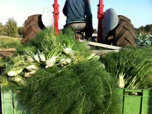 harvesting fennel - april 2013