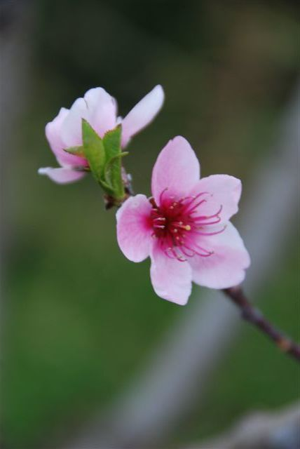 Peach Tree Blossoms at Bud Burst