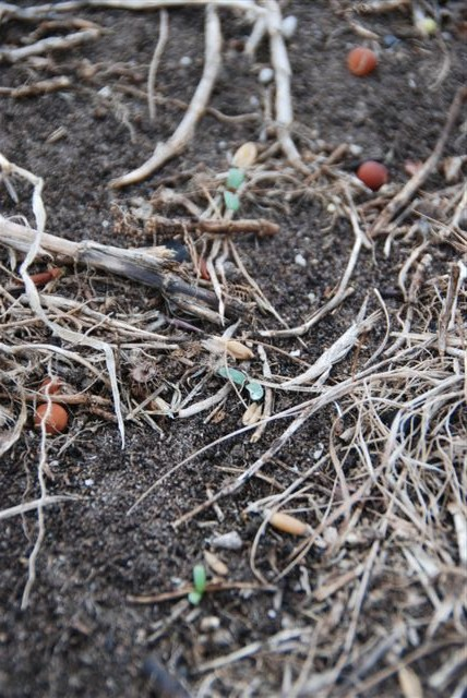 Sown pasture seed (Peas, Oats, Brassicas and Lucerne)