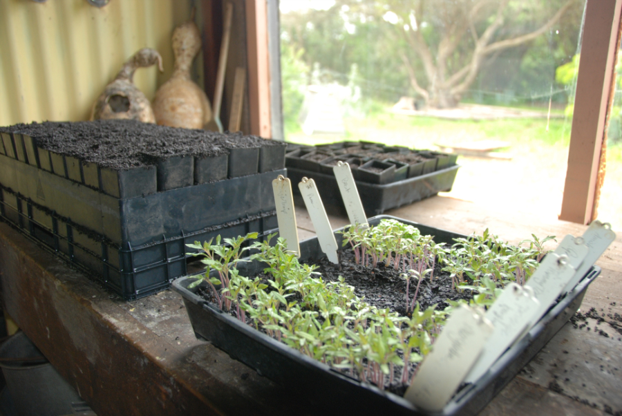 Seedlings ready for transplanting