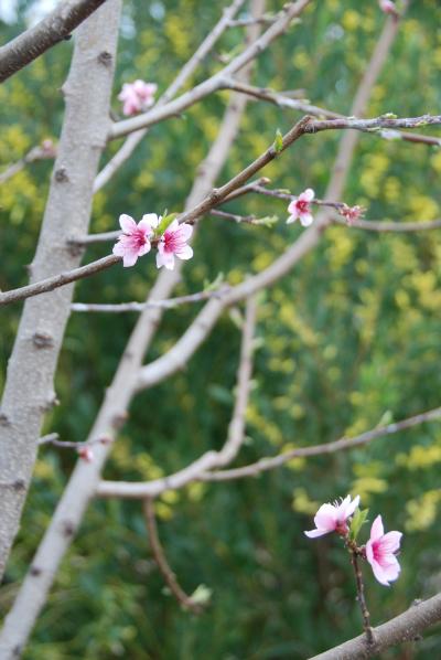 Nectarine Blooming