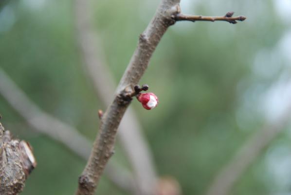 Bud Burst - Apricot