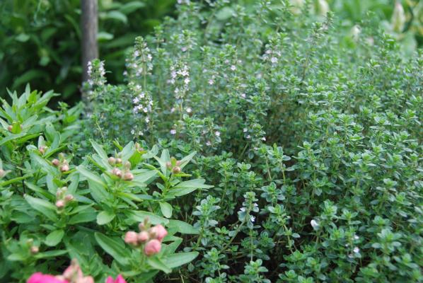 Thymus × citriodorus - Lemon Thyme